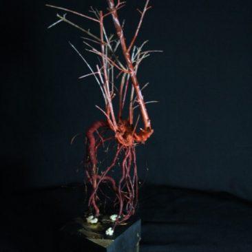 Olivo platera